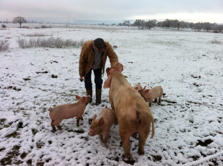 New Year's Morning, Scott out with the pigs in the snow.