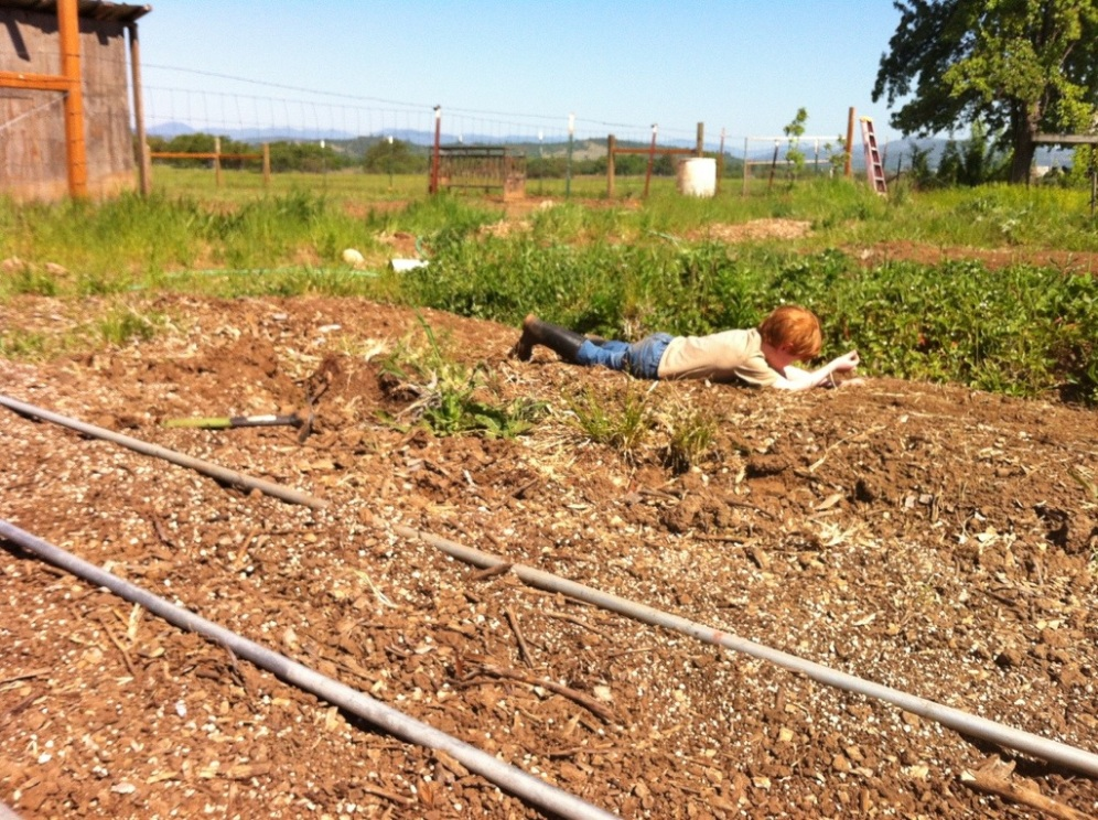 Bean sprawled out between the corn, and the very overgrown with weeds Strawberry area.