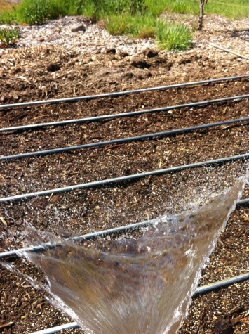 Watering the corn by hand - until we can get the waterlines in.