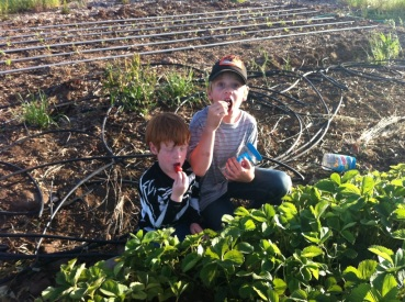 Ben and Bean only really picked Strawberries to sample and eat this time around. Snacks Galore!