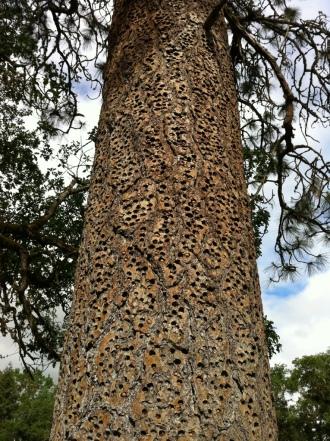 """The """"Acorn Tree"""""""
