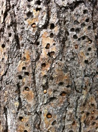 Close Up of the Acorn Tree - woodpeckers place nuts and acorns into the bark of the tree to come back and eat later.