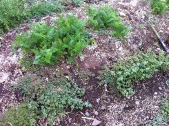 We can't pick these weeds near our carrots yet. They aren't big enough.
