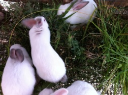 Baby bunnies with their cage filled with weeds. They are happily nibbling away.