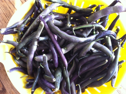 Purple beans from the garden